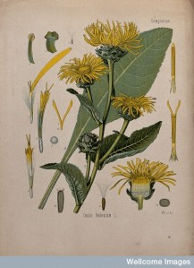 V0044080 Elecampane plant (Inula helenium): flowering stem, leaf and